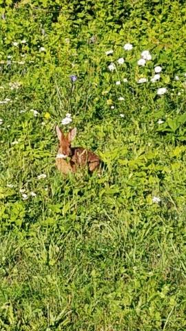 lièvre faune nature isle-aux coudres